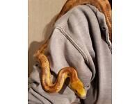 Female Everglades Rat Snake