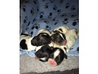 Stunning Shih apso pups