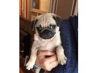 Pug puppy .Boy 100% purebred.