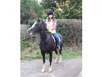 Pony for sale (short term loan with view to buy)