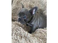 Blue Male French Bulldog puppy (Reggie)