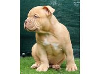 Lilac Tri carrier American Bully puppy for sale