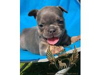 Blue and tan quality french bulldog girl available