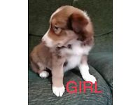 Stunning Red Welsh sheepdog x border collie puppies for sale READY