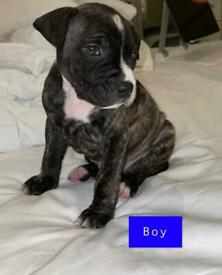 Staffordshire Bull terrier Brindle Pups