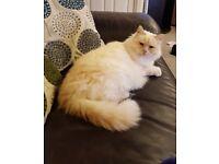 Lovely older cat for sale