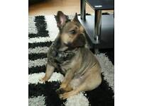 French bulldog fawn sable with tan point's girl for sale