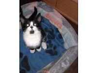Beautiful black& white female kitten looking for loving home