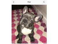 Male French Bulldogs For Sale