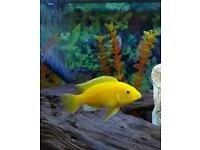 "Labidochromis caeruleus ""Brilliant Yellow"""
