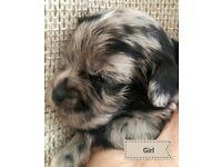 PUGLINGTON puppies PUG X BEDLINGTON
