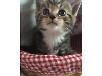 Long haired/Semi long haired Kittens