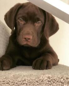 KC Registered Labrador