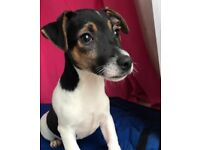 Jack Russell Puppies Girls