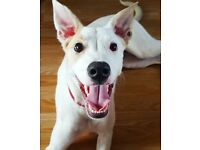 *Free to Good Home* Lovely boy, 8 month old Collie-Whippet Cross.