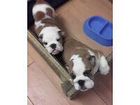 K.C registered. Red & white English bulldog puppies. 2 Females