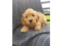 Apricot F1 cockerpoo puppies