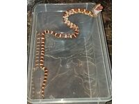2 corn snakes with vivs