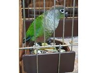 Green Cheeked Conure - With Large Cage - Parrot - Bird