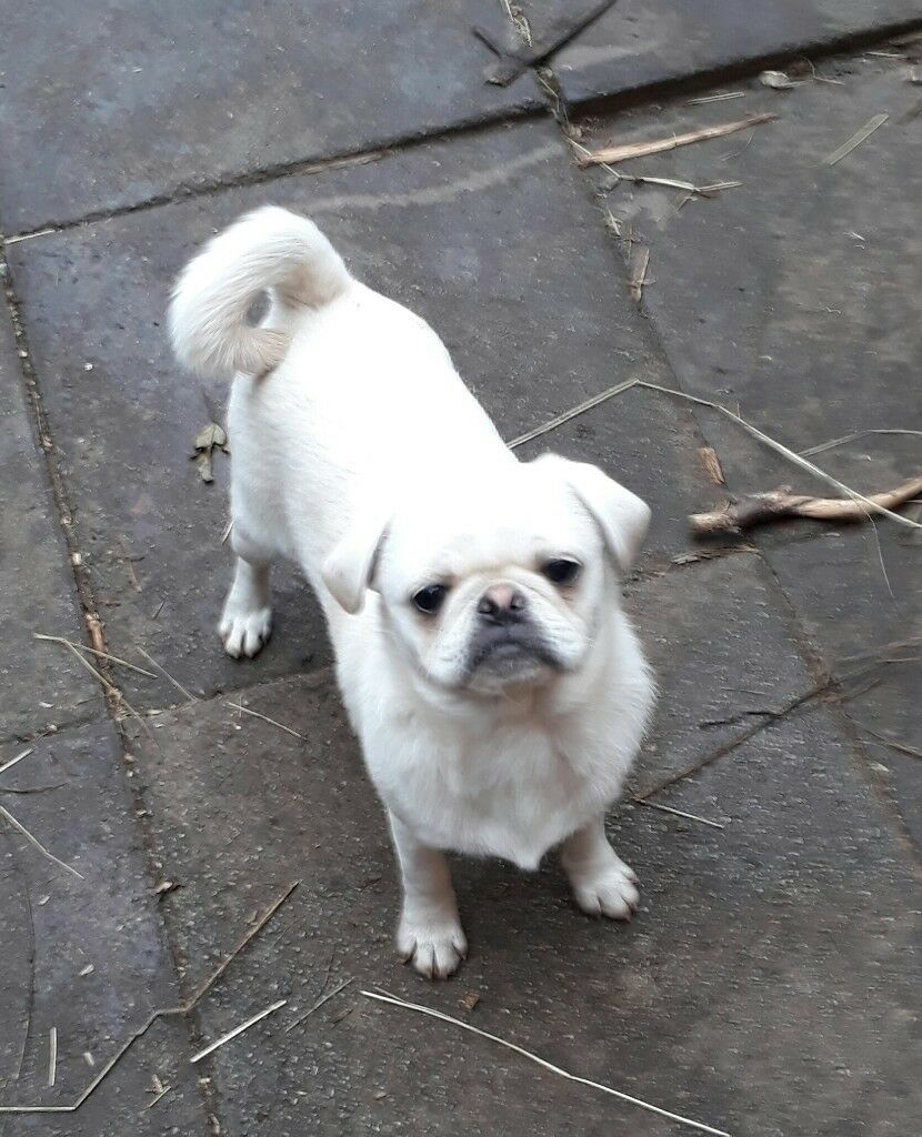 Pug for sale (5mth old white male)