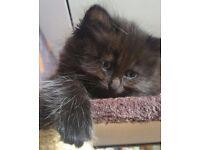 Fluffy 2 kittens=250£