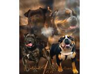 Impeccable Olde English Bulldog Pups