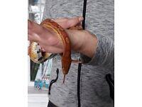 Corn snake for sale
