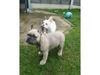 **Kc Reg French Bulldog Pups**