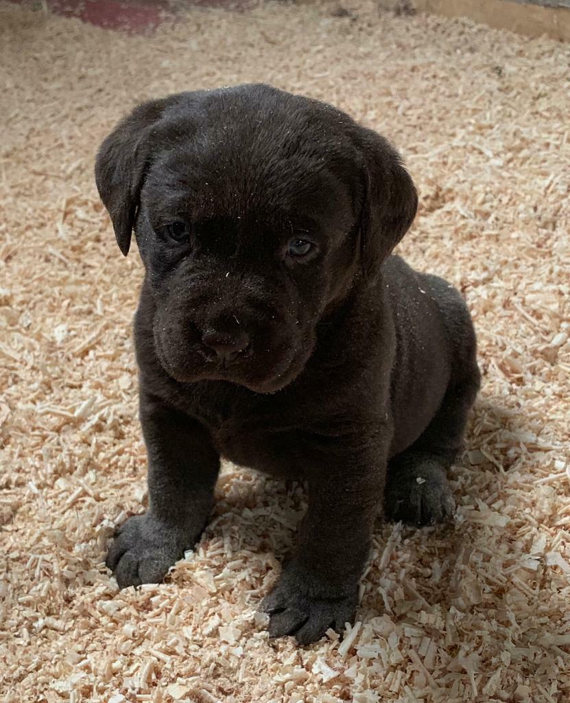 Chocolate Labrador Pup In Limavady County Londonderry Gumtree