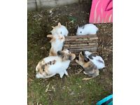 7 week old bunnies. Dutch /English lops. 6 available £40 each ready to be viewed in Ipswich