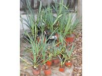 25 HARDY ESTABLISHED SMALL YUCCA PLANTS IN POTS, WILL FLOWER, ONLY £25 CAN DELIVER