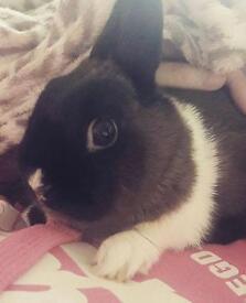 Neverland dwarf rabbit £50 Ono