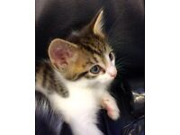 Stunning Fluffy and short hair 4 tabby kittens ready today