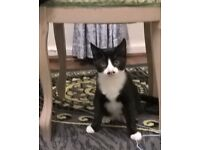 Kitten black and white 4 month ready for new Home