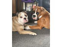Bull - Boxer puppies