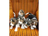 5 pure bread Beagle pups 8 weeks old