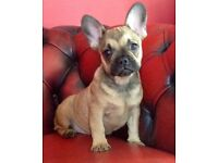French Bulldog puppies (3/4 Frenchie 1/4 Pug)