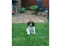 Springer Spaniel Puppies - KC registered