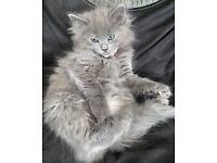 Grey female ragdoll