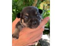 3 beautiful girl pure breed chihuahua puppies