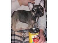 Very small French bulldog girl