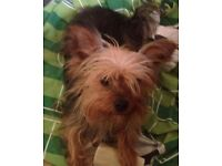 Male mini yorkshire terrier 2 years old