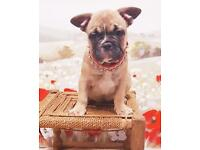 Adorable Quad Carrier French Bulldog Male Puppy