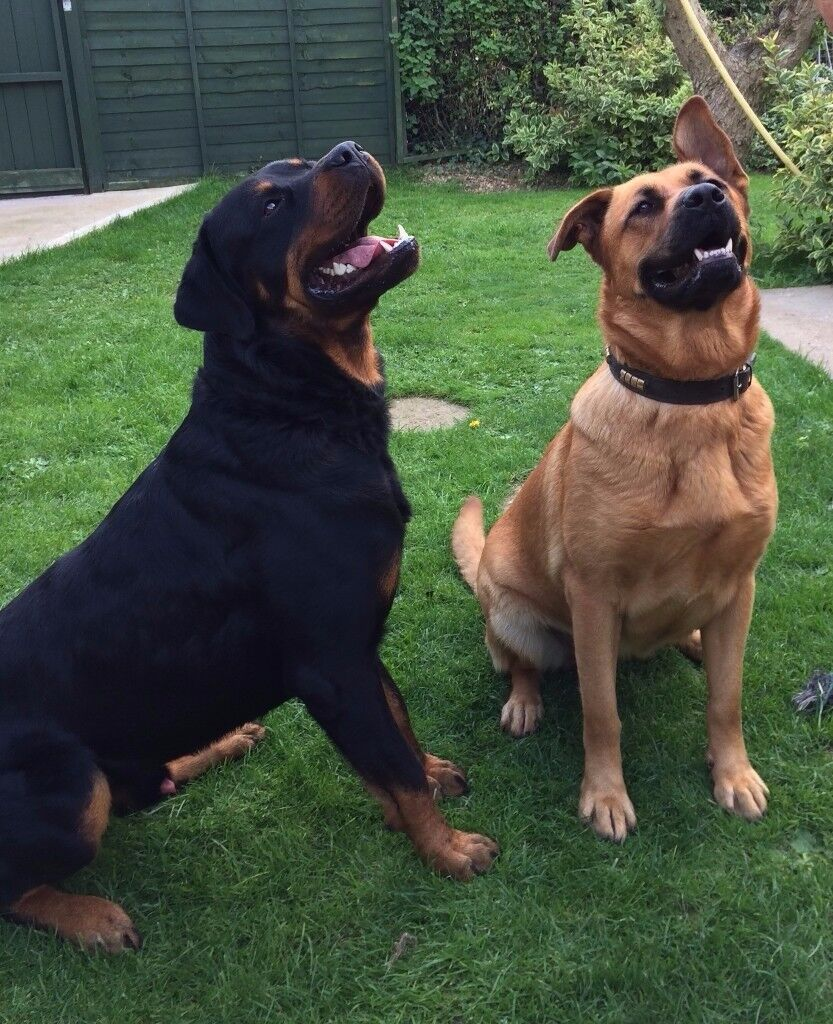Rottweiler German Shepherd Puppies In Lincoln Lincolnshire Gumtree