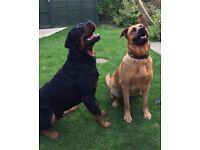 Rottweiler German Shepherd puppies