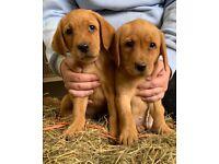 KC Registered Fox Red Labrador Puppies