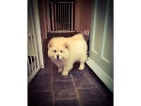 Chow chow puppy female white