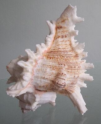 Murex Shell - Large Pink Murex Shell Beach Cottage Hermit Crab Seashell
