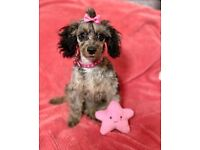 Cavapoo blue Merle poodle toy cavalier puppies puppy girl ready now cutie