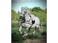 13.3hh Chaps registered grey and white mare